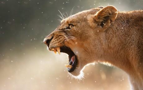 Lioness Teeth