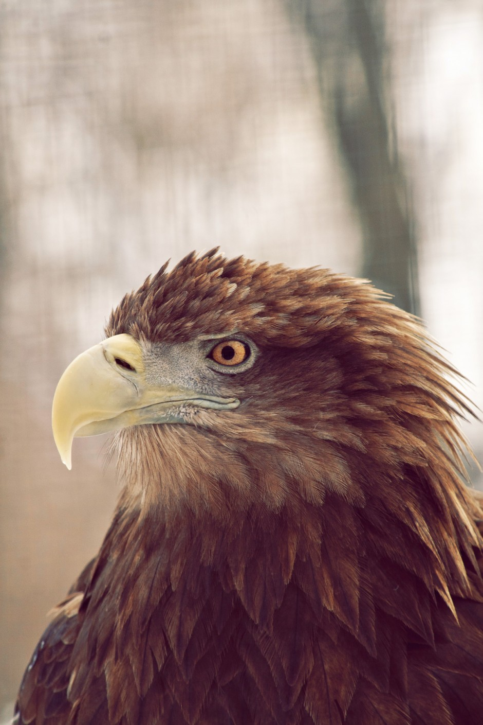 Golden Eagle In The Forest